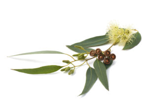 eucalyptus herbs for protection of your home