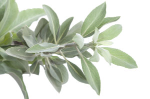 white sage herbs to protect the house from negative energy