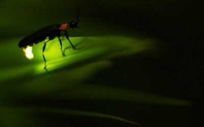 Spiritual Meaning of Fireflies