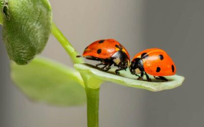 Spiritual Meaning of Ladybugs
