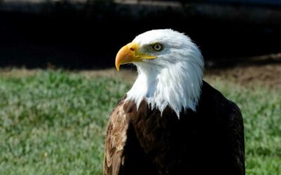 Spiritual Meaning of Bald Eagles