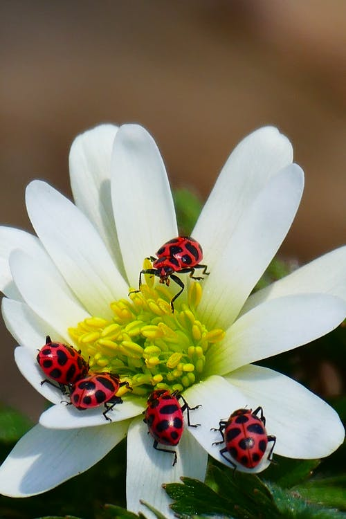 ladybugs on a flower. spiritual meaning of ladybugs 2