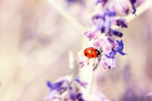 ladybug on a flower. spiritual meaning of ladybugs 3