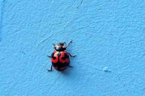 ladybug. spiritual meaning of ladybugs