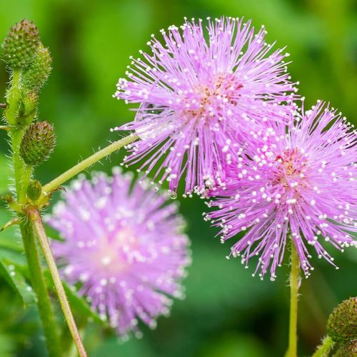 Mimosa pudica magical plant